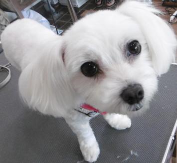 犬トリミング画像15