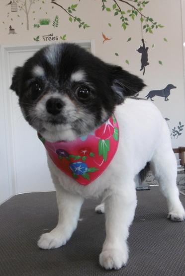 犬トリミング画像18