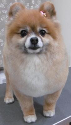 犬トリミング画像26