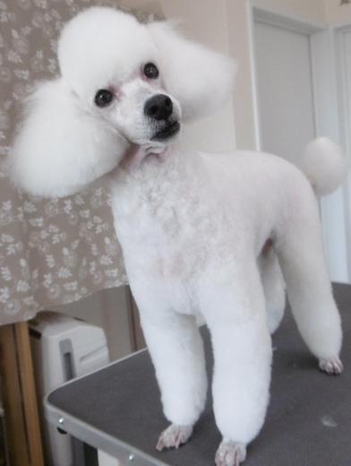 犬トリミング画像7